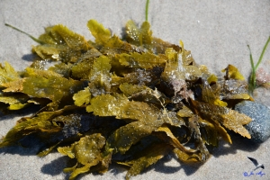 Algen an der Ostsee