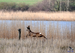 Junger Hüpfer am Norderhaken in Lindaunis