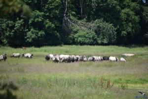 Wildpferde in der Geltinger Birk