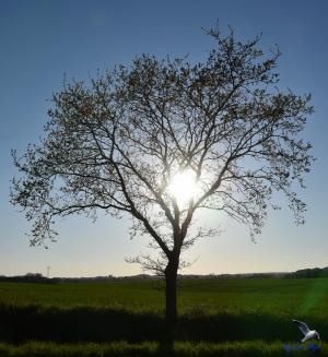 Sonne im Baum bei Ketelsby