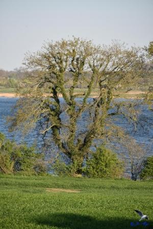 Alter Baum an der Schlei bei Ketelsby